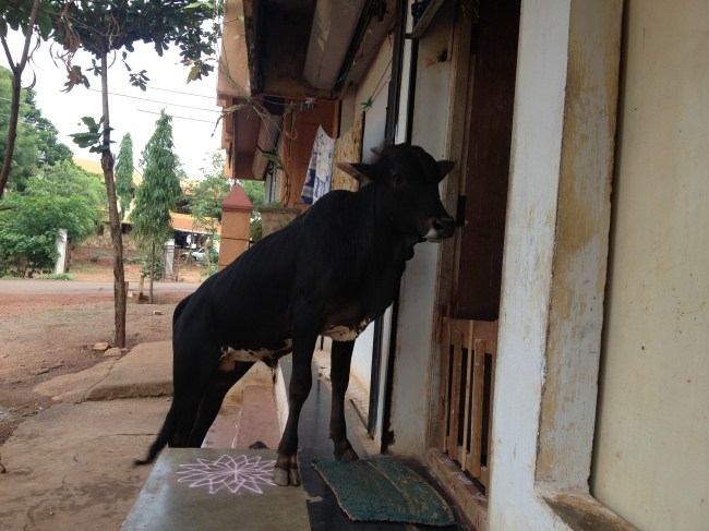 Cow in the doorway